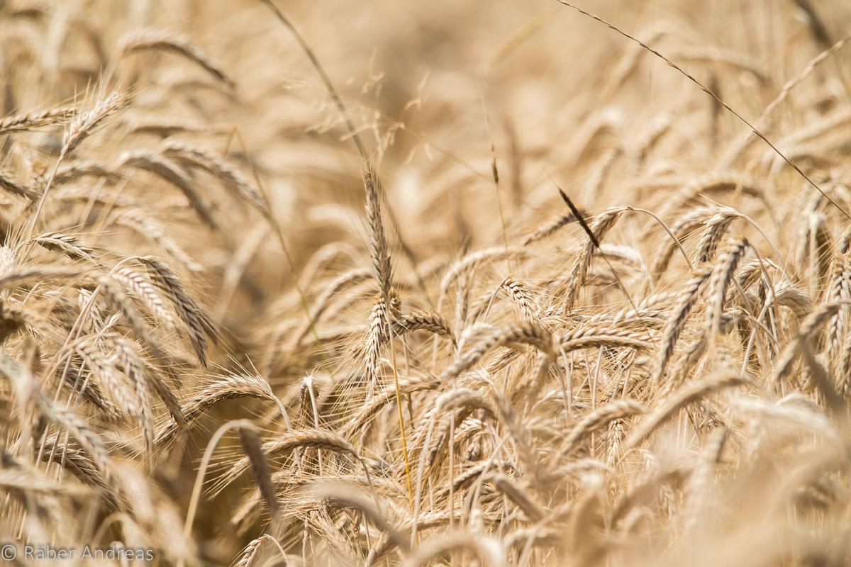 Achtsamkeit steigern. Hinsehen. Wahrnehmen. Zum Beispiel ein Weizenfeld.